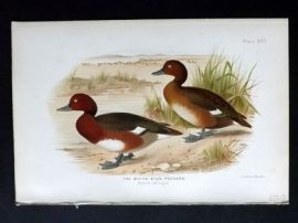 Baker & Gronvold Indian Ducks 1908 Antique Bird Print. White-Eyed Pochard